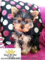 *-*-*-*- Eskişehirden Satılık Mini Yorkshire Terrier *-*-*-*