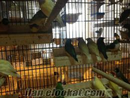 üreticiden golden finch (gökkuşağı ispinozu)
