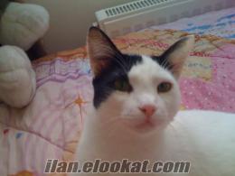 istanbul, Başakşehir de sahibinden iki adet ücretsiz ev kedisi