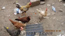 tavuk hepsi günlük yumurtluyor.