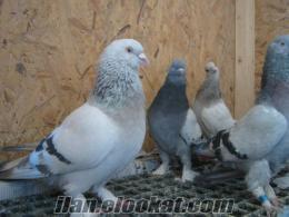 Satılık oyun kuşları