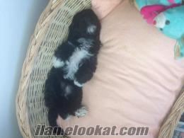 Bornova kayıp terrier siyah