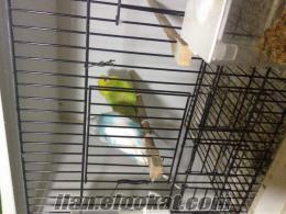 kocaeli dilovasından satılık muhabbet kuşları