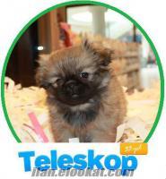 Satılık yavru köpekler TELESKOP PET eyüp