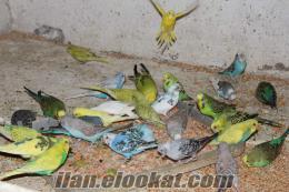 Muhabbet Kuşları NUR ÜRETİM