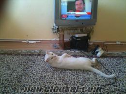 1.5 yaşında safkan van kedisi satılıktır