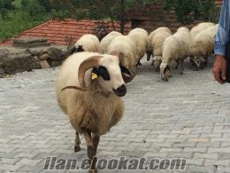 satılık kuzulu koyun balıkesir