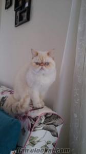 Safkan sıfır burun Exotic shorthair dişi kedi