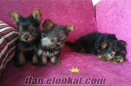 teacup yorkshire terrier * * * royal pet club ***