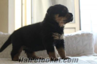 İstanbuldan Rottweiler yavruları
