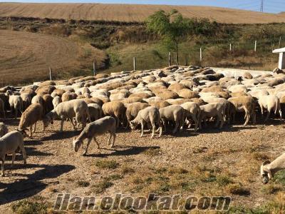 Çiftliğimizden Her Bütçeye Uygun Kurbanlık Koç. Toplu veya Tek-Tek