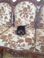 yorkshire terrier Edremitte