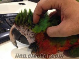 2012 doğumlu konuşan evcil Ara papağanı