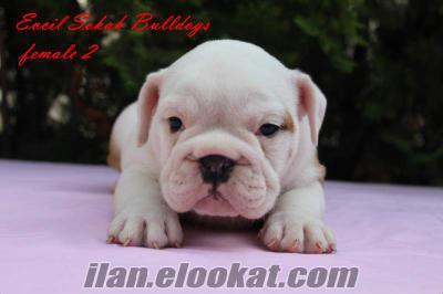 sahibinden ingiliz bulldog yavru