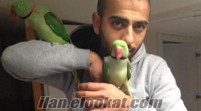 satılık alexander papağanı (alışkın-konuşabilen)