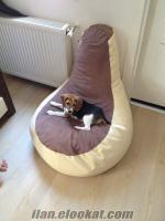 beagle tuvalet eğitimli 4 aylık