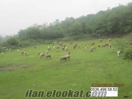 satılık koyun sürüsü 28.000