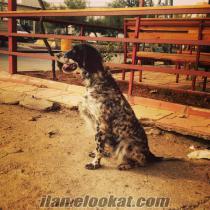 Satılık English Setter Av Köpeği