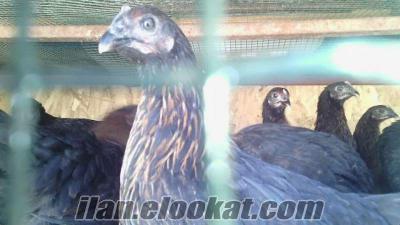 Kahramanmaraş satlık tavuk