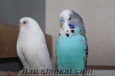 Damızlık Muhabbet Kuşları NUR ÜRETİM