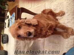 İstanbul-cocker cinsi köpeğime bakamıyorum-gönüllü arıyorum