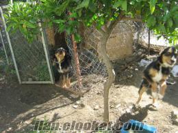 antalya/kumluca da satılık domuzcu kopay usta köpek
