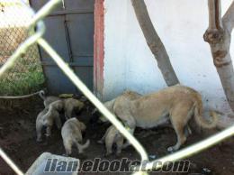 izmirde sahibinden satılık saf kan kangal