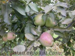 Denizli/ baklan Sterlin elması