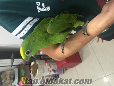 satılık sarı alınlı amazon papağanı