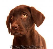 12 Haziran Doğumlu Çikolata Labrador Yavruları