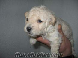 0 beden BEYAZ KIVIRCIK terrier