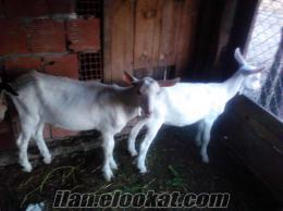 kocaelide sahibinden satılık maltız süt keçisi