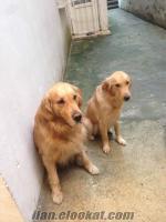 istanbul bahçelievler de sahibinden satılık golden yavrular bulunmaktadir..