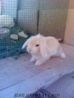 hollanda lop tavşanı yavrulartl