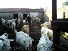 Satılık Sütlü Oğlaklı Keçiler