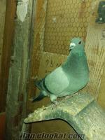 Satılık Posta Güvercinleri