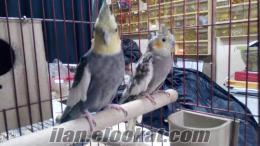Yavrusu alınmış papağan çifti uygun fiyat