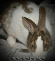 Bursada sahibinden satılık sevimli yeni zelanda tavşanı