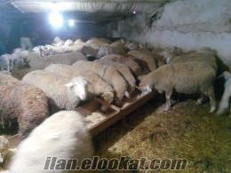 Ankaradan Satılık Kurbanlık Koyunlar