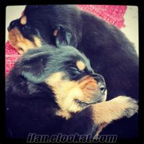 Koca kafalı mükemmel Rottweiler bebekler istanbul