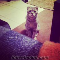 Scotishfold kedimin üremesi icin dişi kedi ariyorum