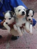 konya satılık sibirya kurdu yavruları