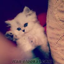 istanbulda sahibinden satılık 3 aylık chinchilla kedi