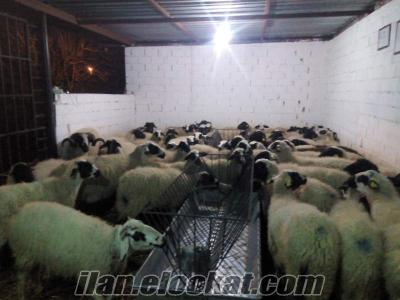 Saf Gebe Sakız Koyunlar ve Sakız Koçlarım Acil Satılıktır :