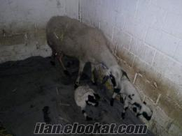 43 Adet Gebe Ve Kuzulu Sakız Koyunlarım vede Koçum Acil Satılıktır :