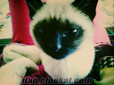 satılık siyam kedisi , siyam kedisi , yavru siyam kedisi, mersin siyam kedisi