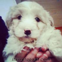 Yavru Maltese Terrier Yavrum Satılıktır Yanında Süprizler İle birlikte