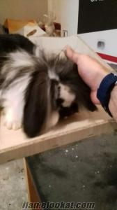 hollanda lop tavşanı yavrusu orjınal