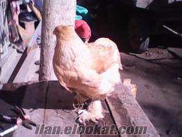 romanya kan lemonpayl brahma yumurtasıve civcivi