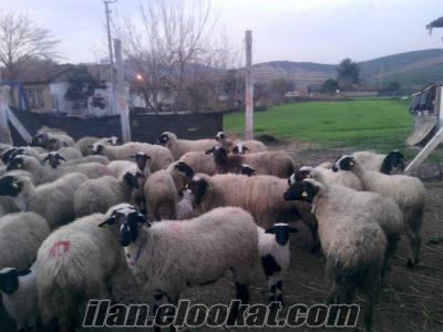 Acil satılık safkan gebe sakız koyunlar ve sakız koçlar ;